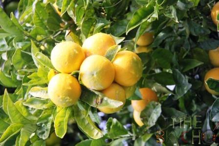 Свежевыжатые соки из цитрусовых фруктов - больше пользы или вреда?