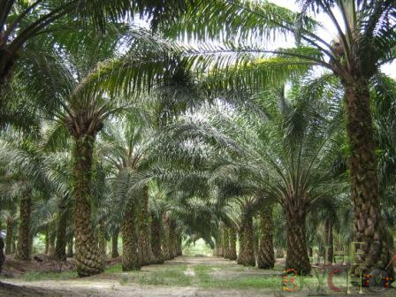 palmovoe-maslo1