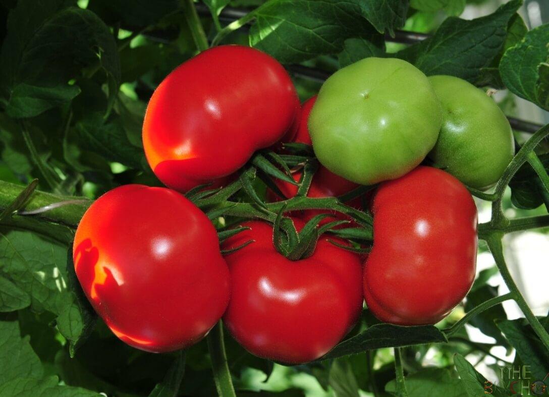 tomat_blagovest